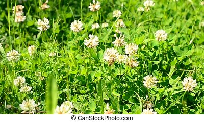Bee on white clover flower - Honey bee on white clover...