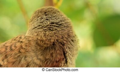 Closeup of young whitethroat fledgling outdoors - Closeup of...