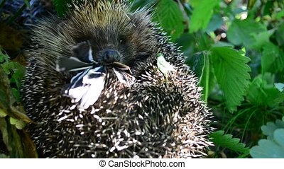 Hedgehog curled in the grass eats a bird