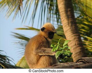 Langurs (Presbytis entellus) in Gokarna, Karnataka, India -...