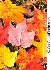 Close-up of a Colorful Maple Leaves
