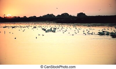 Sunrise with many great white pelicans and seagulls -...