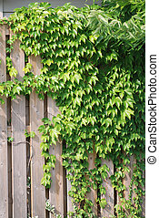 Wooden fence covered in ivy