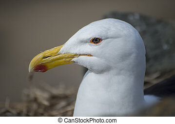 Up close portrait of a Seagull