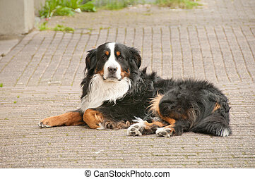 Shepard collie lying on the street