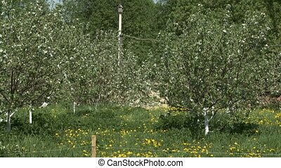Apple garden in summer - Fenced apple garden in blossom in...