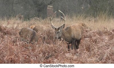 Horned deer. The leader of the herd.