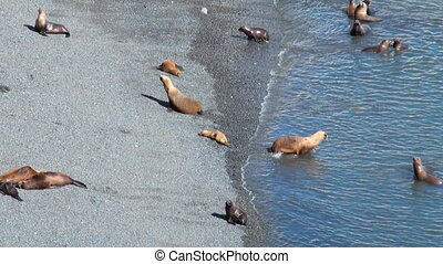South American Sea Lions - Colony Of South American Sea Lion...