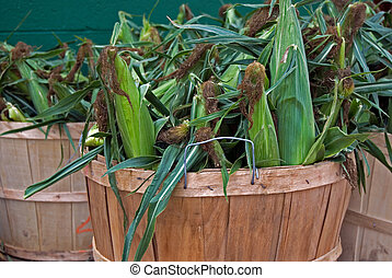 ears of corn - Fresh picked ears of corn in bushel basket.