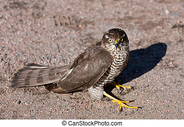 Pernis apivorus - bird from group of the falcon