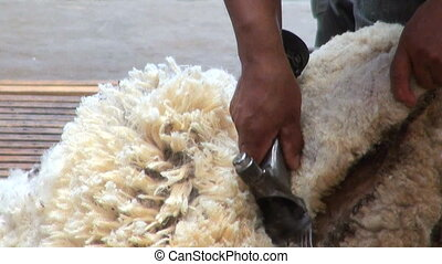 Sheep shearing - Traditional job - Sheep shearing -...