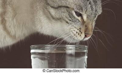 Thai cat drinks water from glass slow motion