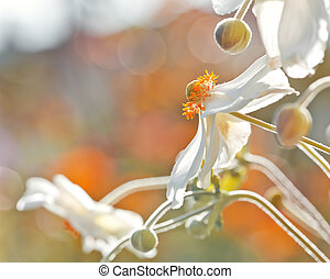 Anemones flower - An image of a Anemones flower with space...