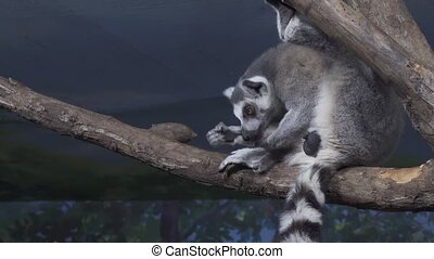Funny Ring-tailed lemur licking its fur on tree branch stock...
