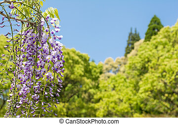 Purple wisteria flowers in front of green forest under sky