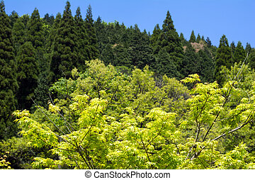 Green maple leaves - Fresh green maple leaves in front of...