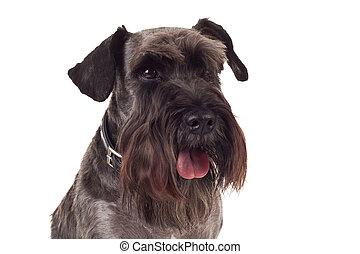 small black schnauzer face - portrait picture of a small...