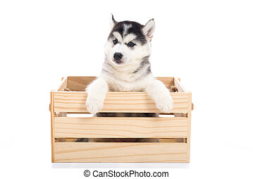 Cute Siberian husky puppy sitting in a wooden crate o