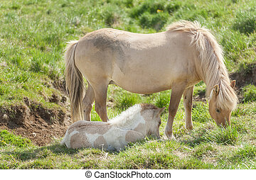 Icelandic horses are rather small and very beautiful. Mare...