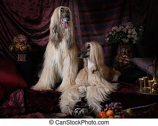Two Afghan hounds dogs in the Arab interior - Two elegant...