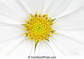 cosmea - An image of a nice white cosmea