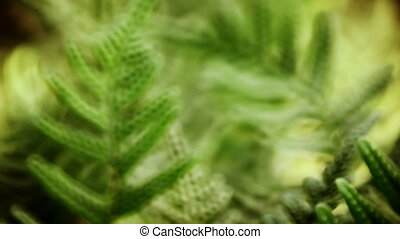Closeup of green leaves of fern, rack focus, zoom in and...