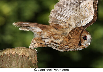 Tawny Owl - Portrait of a Tawny Owl in flight