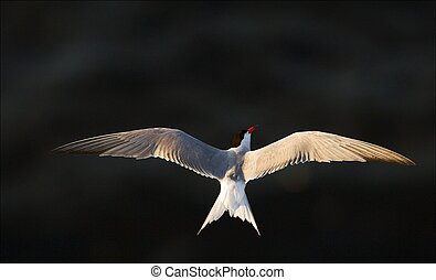 Flight. The white bird soars over dark water, having spread...