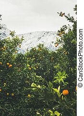 Trees with oranges in mountain garden, Dim Cay district,...