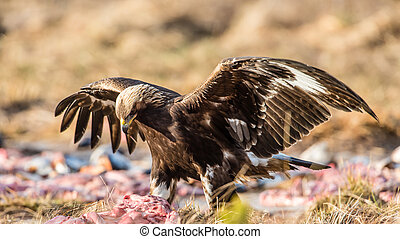 The Eagle have come down - The Golden Eagle (Aquila...