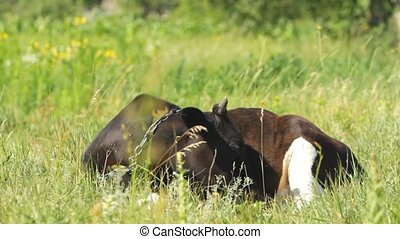 Young calf lying on the grass field