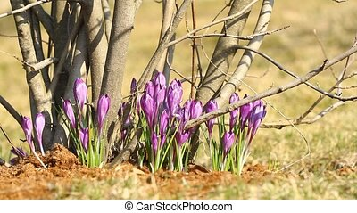 Purple crocuses grow on trees in spring