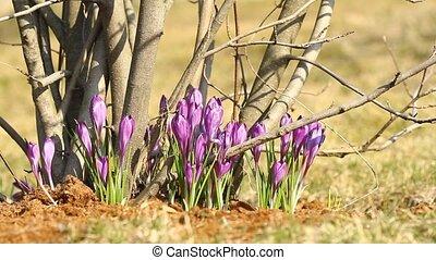 Purple crocuses grow on trees in spring