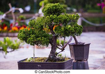 Bonsai pine trees in a pot in park of flowers in Dalat,...