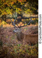 Wild Deer Stag, Autumn Morning Light. - A wild deer stag in...