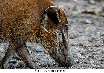 Red river hog, bush pig. - Red river hog or bush pig close...