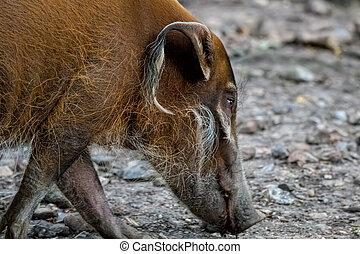 Red river hog, bush pig. - Red river hog or bush pig close...