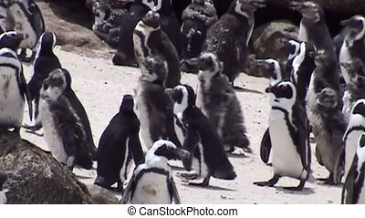 Pinguins on coast of South Africa. - Pinguins On The Beach...