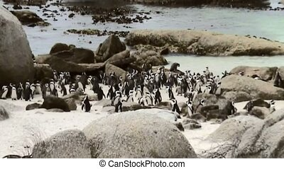 African penguins in Simonstown (South Africa) - African...