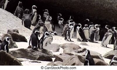 Pinguins in Simonstown (South Africa). - Pinguins On The...