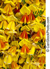 Common Shaggy Pea - Oxylobium ellipticum - Background...