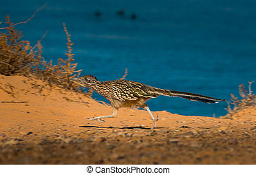 Greater Roadrunner Geococcyx californianus - Close up of a...