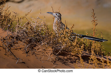 Greater Roadrunner Geococcyx californianus - Profile of a...