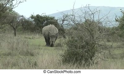 Two Rhino's in South Africa - Rhinos looking for food in...
