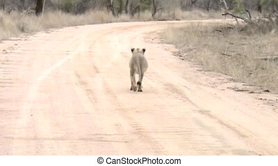 Lions on the road in Hluhluwe park in South Africa - Young...