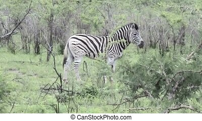 Zebra looks to the people in South Africa - Zebra in African...