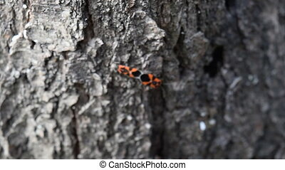firebugs mating and walking backwards. Spring nature fire...