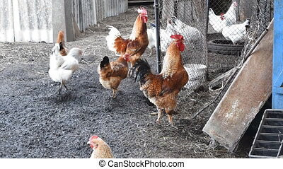 Hens in the yard of a hen house. Cultivation of poultry.