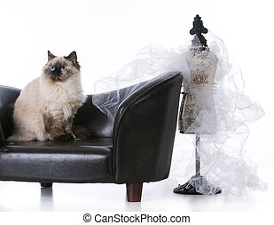 ragdoll cat looking regal - ragdoll cat sitting on couch...