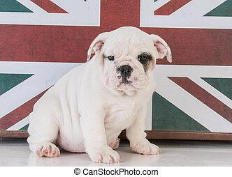 bulldog with british flag - bulldog puppy with british flag...